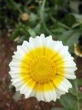 biały żółty kwiat Zdjęcia Royalty Free