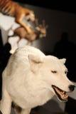 biały wilk Fotografia Stock