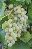 białych winogron Zdjęcie Royalty Free