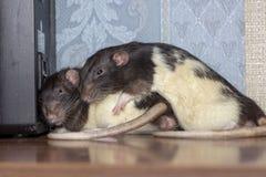Biba ang Boba som sover på bokhyllan arkivfoto