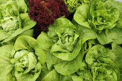 Bibb Lettuce Stock Photos