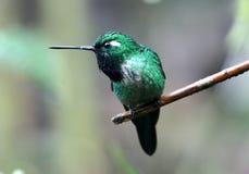 bibbed whitetip пурпура hummingbird эквадора стоковая фотография rf