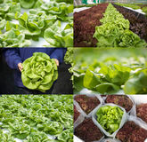 Bibbl lettuce or butterhead lettuce in various views Stock Photos