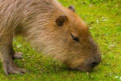 Biber меха капибары коричневое любит на траве Стоковая Фотография