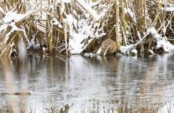 Biber isst am Flussufer im Winter Lizenzfreie Stockbilder