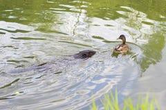 Biber und Ente im Fluss Lizenzfreie Stockfotografie