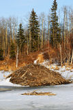 Biberverdammung im Winter Lizenzfreies Stockfoto