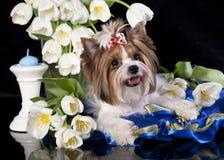 Biberyorkshire-Terrier Stockfotografie