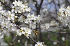 Bibesökare och ett blomningträd Arkivfoto