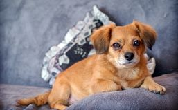 BIBI. Dog sitting on the couch, one of my pets royalty free stock photo