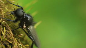 Bibio för svart fluga marci Makro stock video