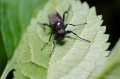 Bibio marci or St. Mark`s fly or Hawthorn Fly stock photography