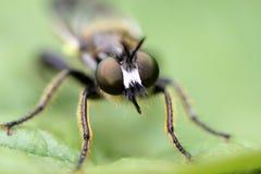 Bibionidae Lizenzfreie Stockfotografie