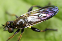 Bibionidae Stock Photo
