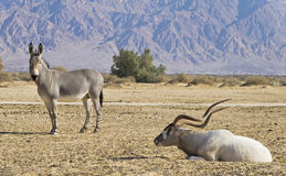 Biblical animals in Israeli nature reserve Royalty Free Stock Image