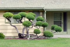 Biblical Juniper. An old Juniper makes for a great landscape for this residence Stock Images