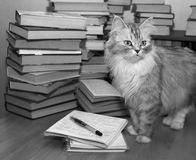 Bibliophile. Heap of books and a grey cat stock photography