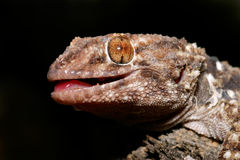 Bibron gecko Stock Photography