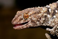 Bibron gecko Royalty Free Stock Photo