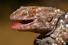 Bibron gecko Royalty Free Stock Photography