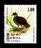 Bicalcarata Шри-Ланки Spurfowl Galloperdix, serie птиц, около 1979 Стоковое Фото