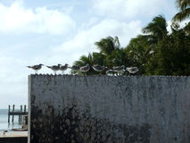 Bicando a ordem - pássaros de Florida que embebem acima algum sol Fotografia de Stock Royalty Free