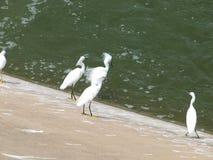 Bicando ordens com Egrets juvenis Fotografia de Stock Royalty Free
