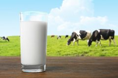 Bicchiere di latte e mucche sul campo verde del fondo immagini stock libere da diritti