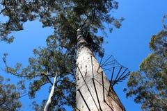 Bicentennial Tree Warren National Park West Aus. The Bicentennial Tree in the Warren National Park in the karri region of West Australia is sixty eight metres royalty free stock photos