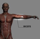Biceps. Human Anatomy - Male Muscles made in 3d software with highlighting  biceps Stock Photo