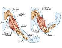 Biceps, Triceps - movement of the arm Royalty Free Stock Photography