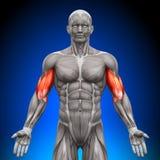 Bicepsen - Anatomiespieren Royalty-vrije Stock Foto's