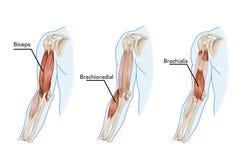 Bicepsy, Brachii, Brachioradial ilustracji