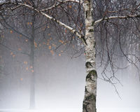 Birch Tree in Fog. Scenic view of birch tree in fog created by rain falling on the snow around it royalty free stock images
