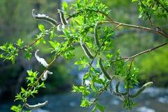 Bichano-salgueiro, árvore da mola Imagens de Stock