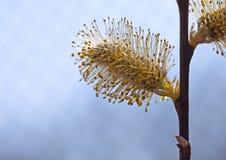 Bichano-salgueiro na primavera Fotos de Stock Royalty Free