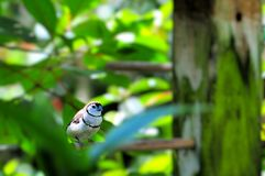 Bicheno's Finch bird Royalty Free Stock Image