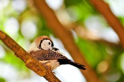 Bichenos Finch bird on tree branch, Florida Royalty Free Stock Photos