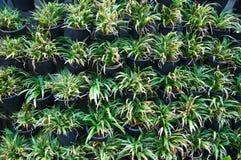 Bichetii de Chlorophytum Foto de Stock