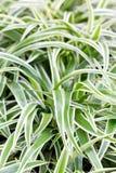 Bichetii Grass. Stock Photo