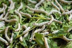 Bicho-da-seda que eleva as folhas alimentadas exploração agrícola da amoreira Fotos de Stock Royalty Free