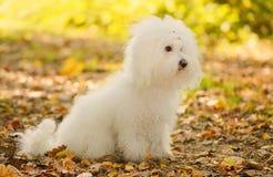 Bichon博洛涅塞狗在公园放松 免版税库存照片