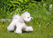 Bichon在晴朗的夏天草坪附近frize奔跑 库存图片