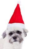 bichon盖帽frise圣诞老人 库存图片