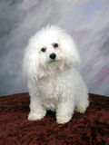 Bichon 2. White Bichon sitting for a pose royalty free stock photography
