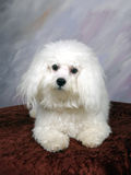 Bichon. White bichon laying down for a pose royalty free stock photos