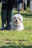 bichon adulto del perro Imagen de archivo