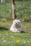 bichon adulto do cão imagem de stock royalty free