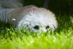 Bichon baby Stock Photo