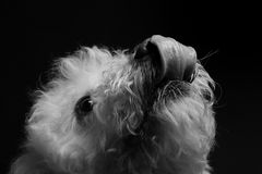 Bichon Stock Photography